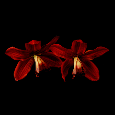 Elegant Delicate Red Orchid Flower Hair Clip