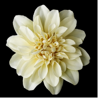 Elegant Wedding Bridal Flower Hair Clip - Ivory Dahlia